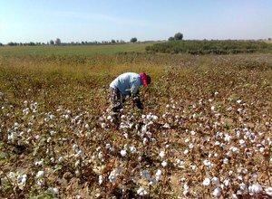 Uzbekistan cotton (1).jpg