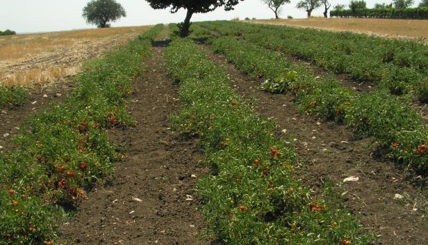Italian tomato farm - photo by Michael Celozzi