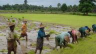 A rice paddy in Myanmar - photo by Richard-dicky