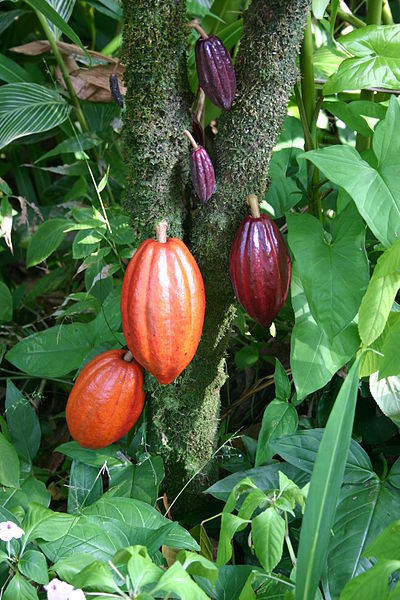 A cacao tree with fruit pods in various stages of ripening-credit-By Photo by Medicaster. (en:Image:Cocoa Pods.JPG) [Public domain]