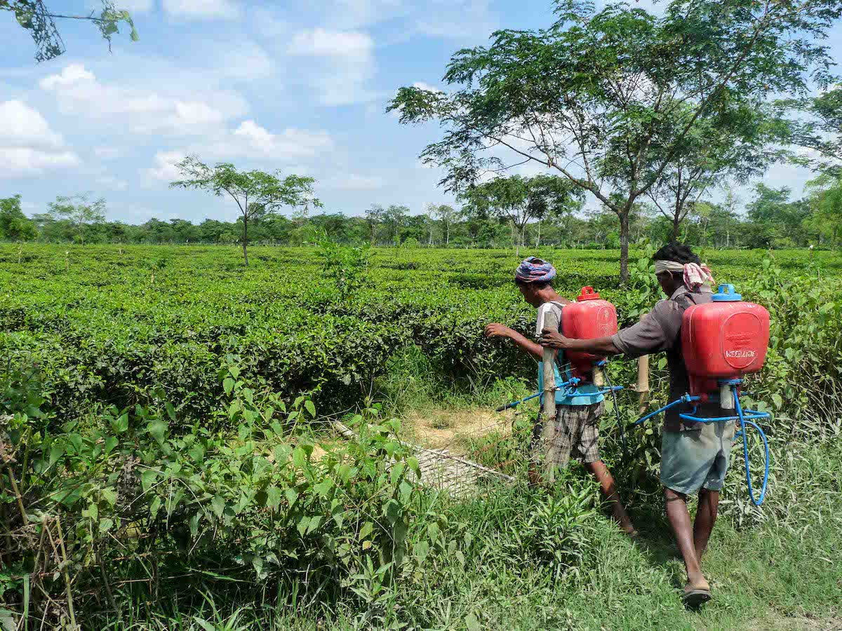 Tea_gardens_Assam_Photo_Courtesy_Nazdeek