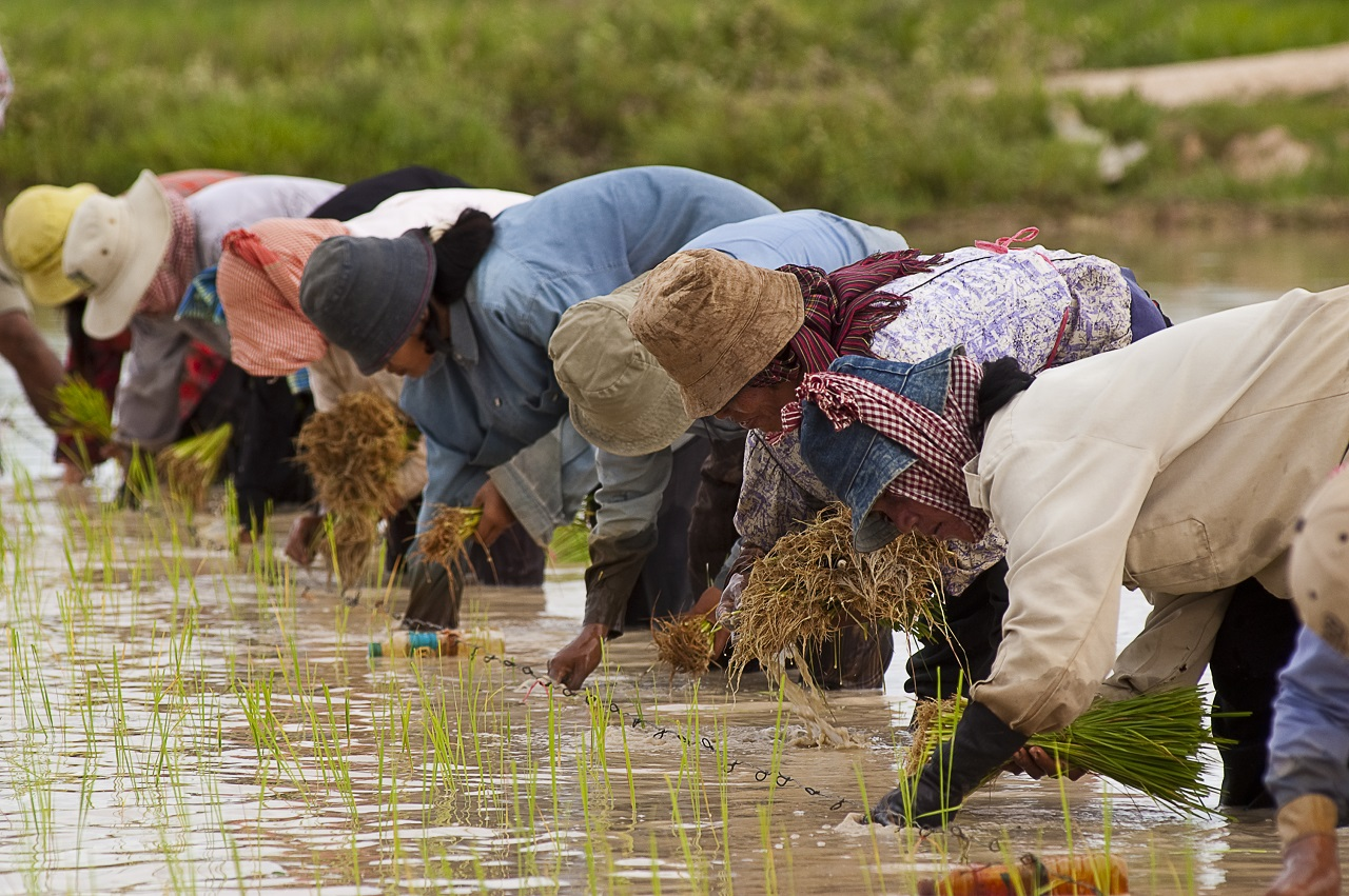 Cambodian_farmers_planting_rice_Credit_Brad_Collis_Creative_Commons