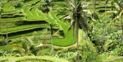 Indonesia Bali rice paddy by Yves Picq