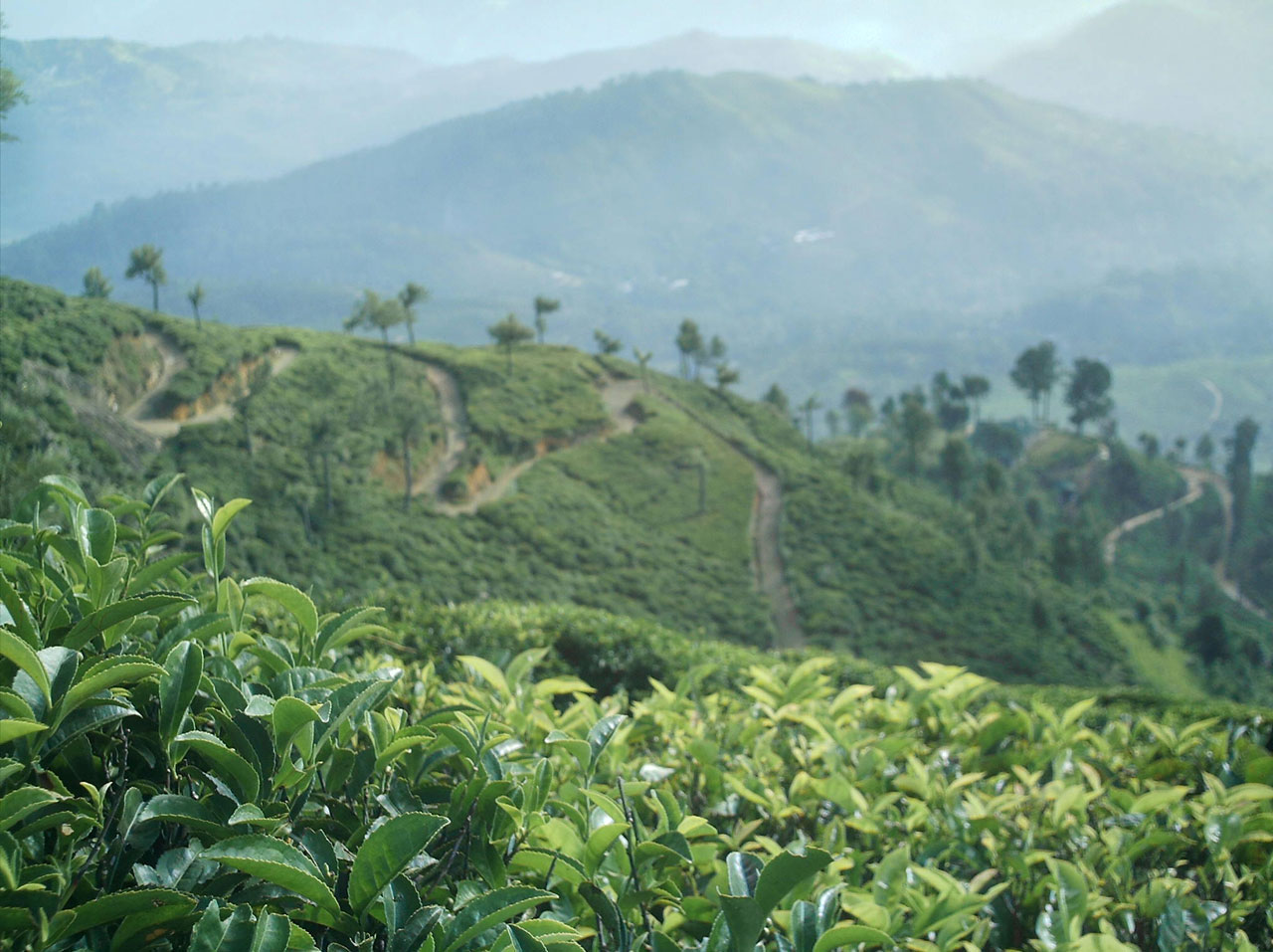 Tea plantation-credit-Chaminda Bandara-http://www.publicdomainpictures.net/view-image.php?image=2485&picture=tea-estate&large=1